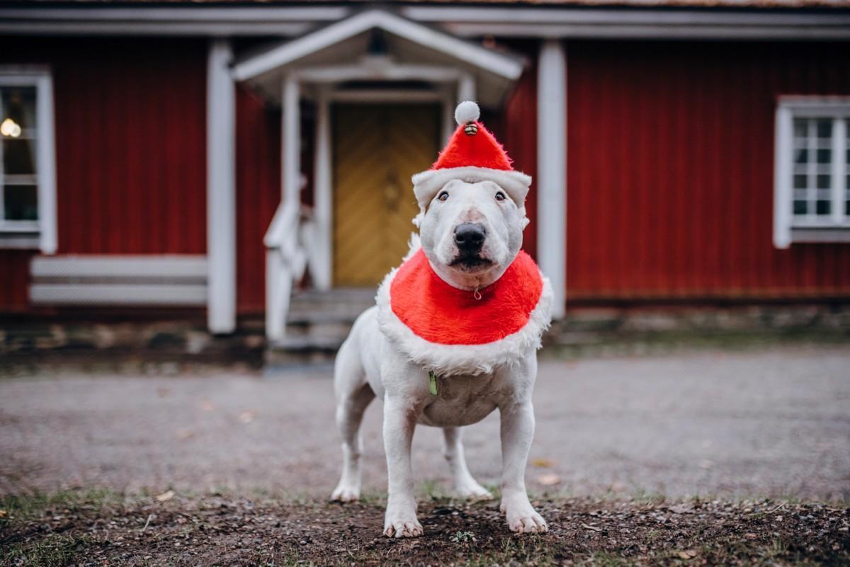 Herra Herkku Hermanni pysyy coolina, vaikka joulunaika lähestyy.